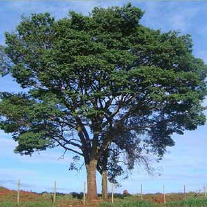 Tasmanian Oak Tree