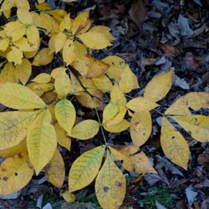 Tasmanian Oak Tree